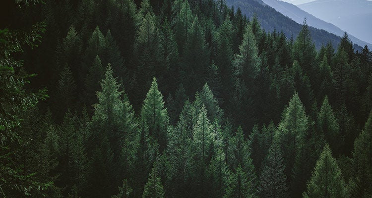Dark green pine trees on a mountain