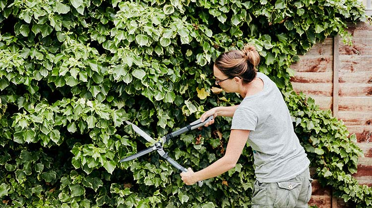 Woman cutting off overgrown ivy from a fence